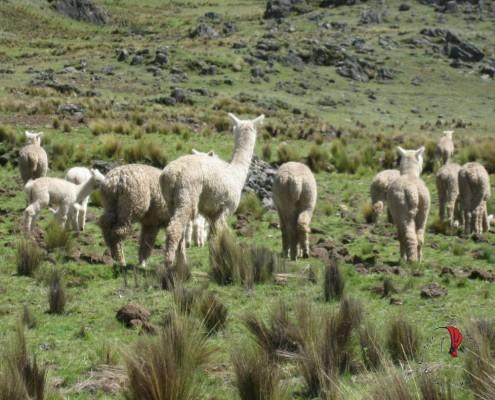 viachia alpaca