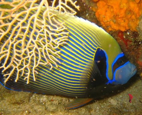 pesce-angelo-imperatore-madagascar