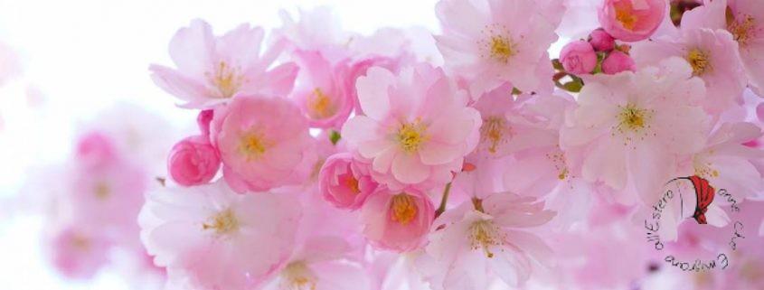 fiori-ciliegio-rinascita