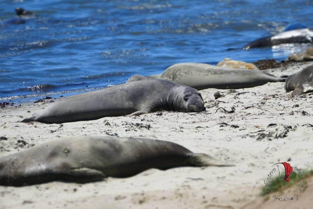 elefanti-marini-spiaggiati