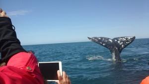 balene-california