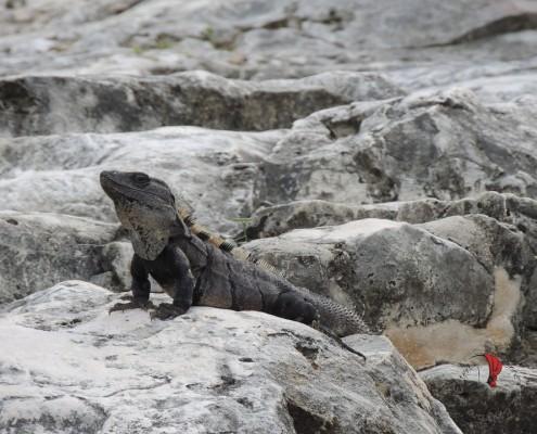 messico iguana