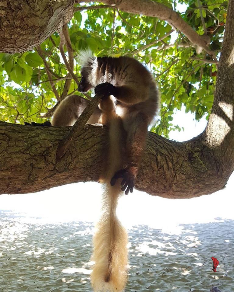 Lemure-Madagascar