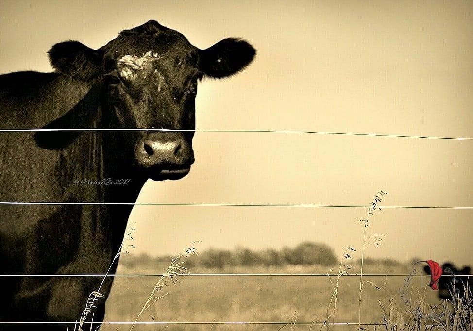 mucca-iowa