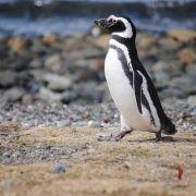 pinguino-cile