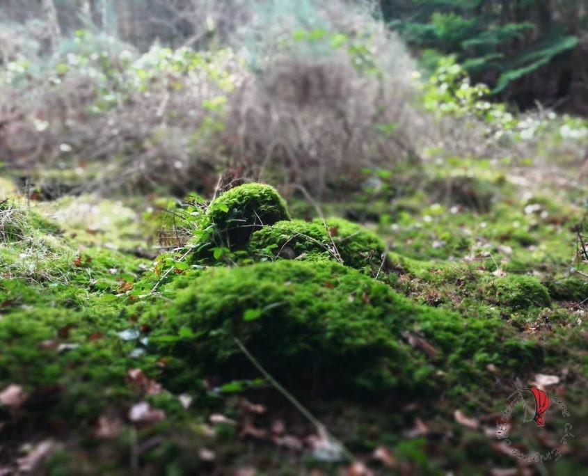 muschio-bosco-irlandese