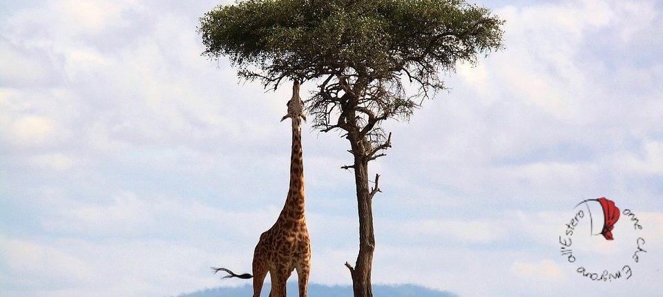 giraffa-kenya