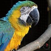 animali-ara-ararauna