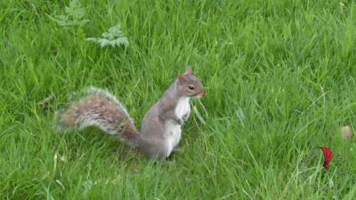 londra-scoiattolo-park