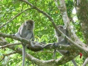 Borneo-macachi