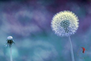 fiore-soffione