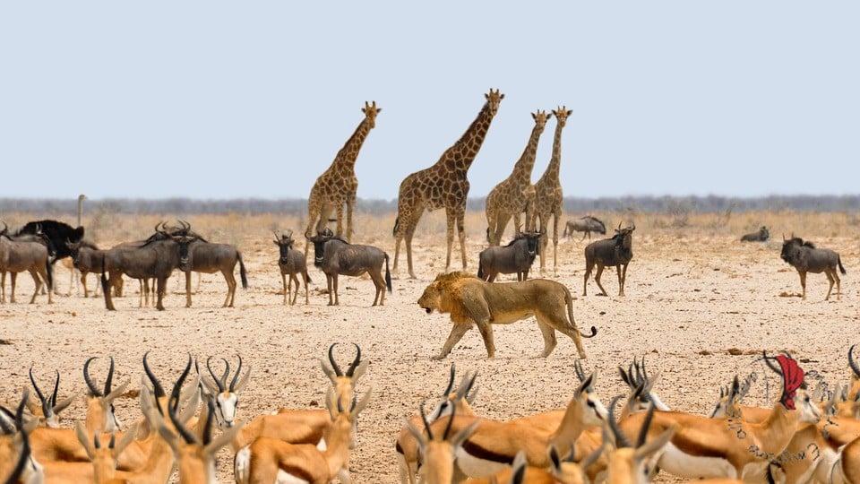 africa-giraffe