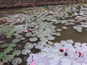 fiori loto fango