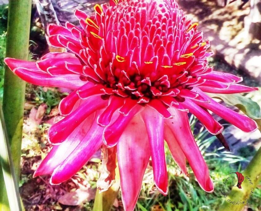 fiore-ginger-sbocciato