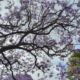 alberi australia