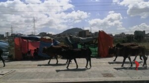 mucche che passeggiano al bordo della strada