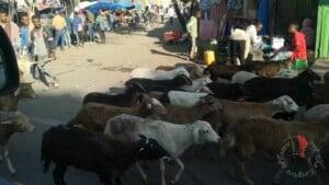 in centro ad Addis non mancano mai le pecore