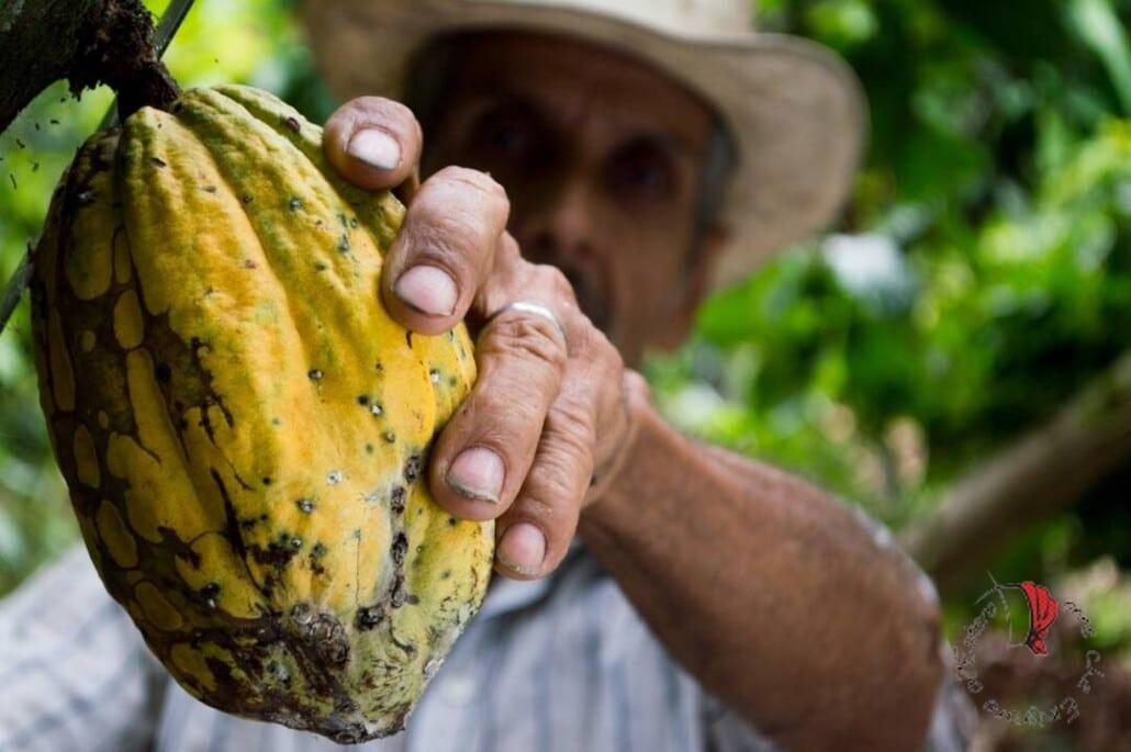 il frutto dell'albero di cacao