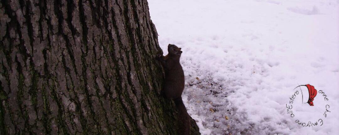 squirrel-scoiattolo